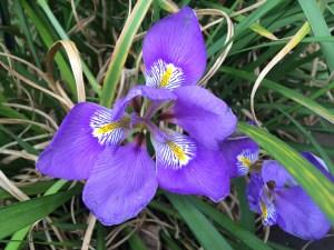 Iris unguicularis adds colour to the winter garden