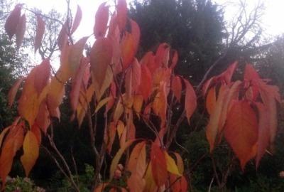 Amanogowa_autumn_leaves