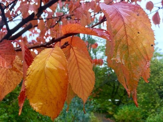 Prunus_sargentii