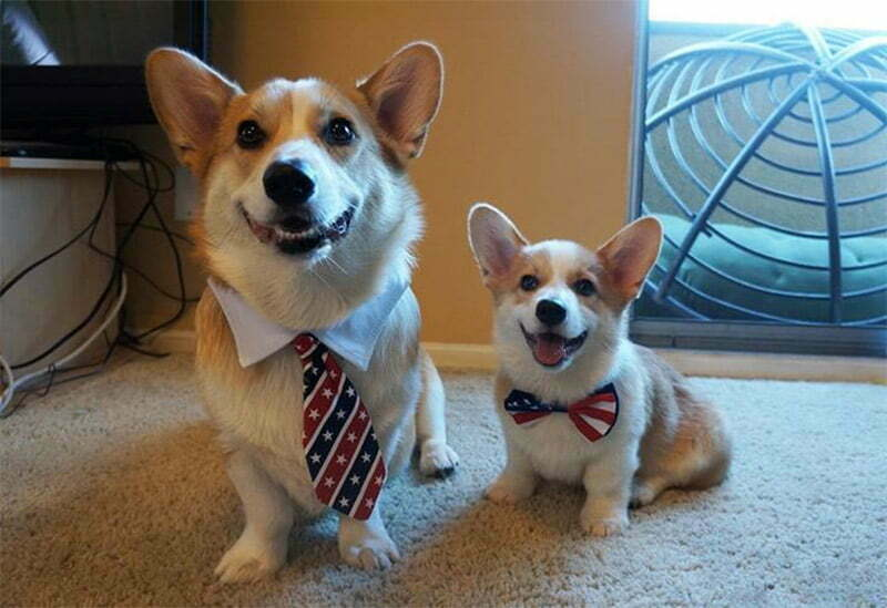 Corgnelius One Of 5 Most Important Dogs Images On The Internet