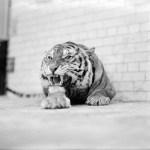 Obudź Tygrysa: jak otrząsnąć się z bolesnej przeszłości