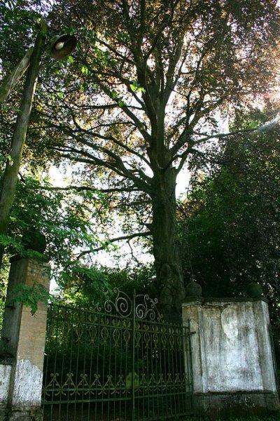 stare drzewa: jesion