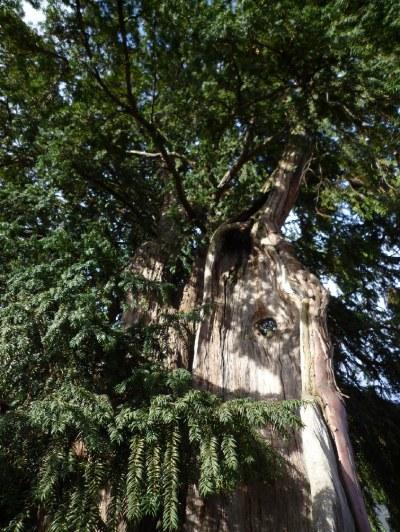 stare drzewa