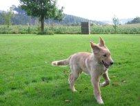 Bellis zum ersten Mal auf dem Hundeplatz