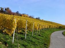 Weinstöcke am Tüttlinger Berg in bester Südwest-Lage