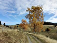 Das Gelb der Birken wird langsam zu braun - bald fallen die Blätter ab