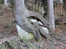 Baum um Fels gewachsen