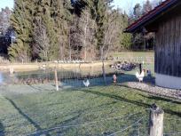 Hühner, Enten, Gänse - alle zusammen