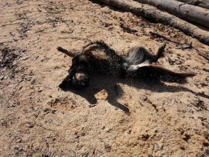 Doxi wälzt sich in den Holzspänen an einem Schnittplatz der Waldarbeiter