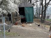 Hier sitzt der Hahn auf dem Zahn und mach Kikeriki