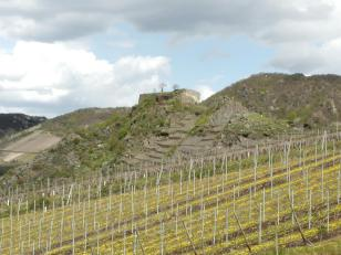 Zwischen den Weinstöcken blüht der Löwenzahn. Dahinter die Ruine der Saffenburg.
