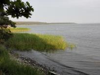 Viele Dutzend Schwäne gründeln hier im flachen Boddenwasser