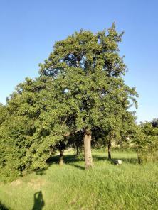 Ein vollbeladener Birnenbaum