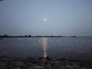 Schwäne im Hafen von Orth. Mehr als hundert Stück habe ich gezählt