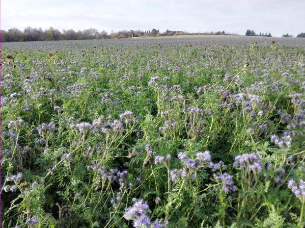 Blühende Zwischenfrucht auf den Feldern am Rand der Heide