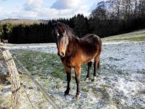 Robuste Pferdchen auf der Winterweide