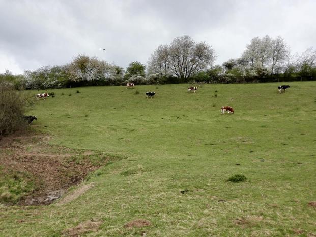 Die Kühe auf der Weide am Ausgang des Höddelbachtal schauen neugierig zu uns herüber