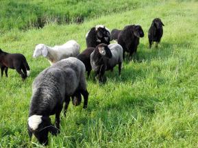 Schafe am Wildgehege im Joseftal