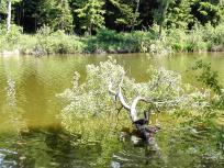 Zwei Nilgänse auf einem umgestürzten Baum im Glasweiher