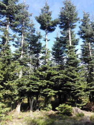 Eng gepflanzte Tannen für die Holzwirtschaft