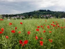 Im Hintergrund: Das Schlösschen Charlottenberg auf dem Heuberg hoch über Pfedelbach