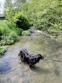Doxi erfrischt sich im Kessachbach
