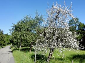 Obstbäume am Rande von Waldenburg