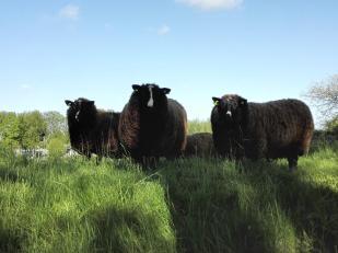 Braune Schafe auf dem Deich