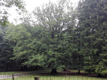 Im Wald: Viele uralte Eichen