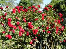 Rosen im Garten des Schützenhauses