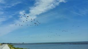 Plötzlich tauchen über dem Deich hunderte von Gänsen auf, die laut schreiend in Richtung Watt fliegen