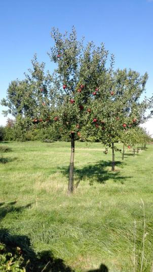 Obstgarten an der Erft - Die Äpfel sind fast reif
