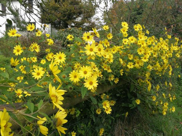 Noch recken die Sonnenblumen ihre Köpfe ins Licht