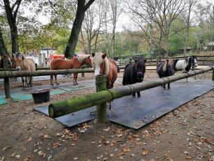 Die Freizeitpferdchen aus dem Stall von Mutter Wehner warten auf Ausflügler