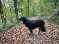 Doxi hat etwas gehört und lauscht in den Wald hinein