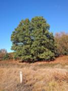 Freistehende Eichen prägen neben Kiefern das Landschaftsbild