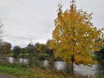 Herbstlich bunter Baum an der Rur