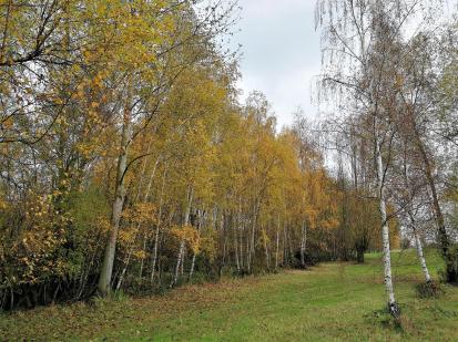 Birkenwald am Baggersee