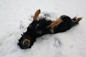Doxi rollt sich erst einmal im Schnee ab