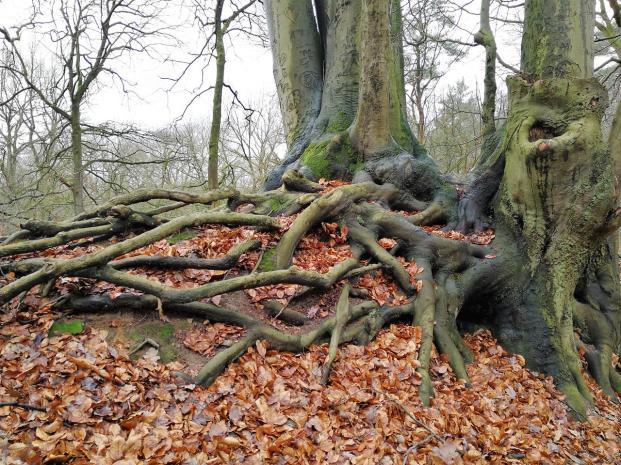 Verschlungene Wurzeln dreier miteinander verwachsener Buchen