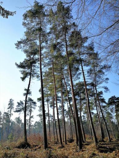 Kiefern fühlen sich auf dem sandigen Untergrund des Niederrheinischen Höhenzuges besonders wohl