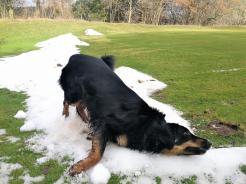 Doxi hat eine der allerletzten Schneereste entdeckt und rollt sich erst einnal genüsslich ab