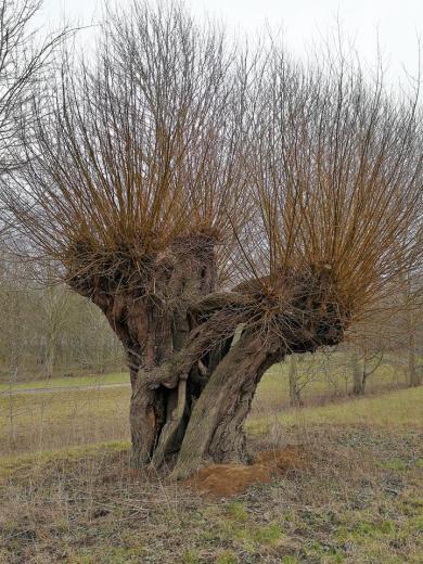 Uralte Weide auf den Rheinwiesen