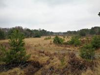 Wird die Heidefläche nicht kurzgehalten, wachsen überall die Kiefern nach