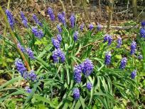 Blaue Bodendecker im Wald