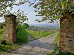 Blick durch den Weinberg hinunter nach Hallgarten