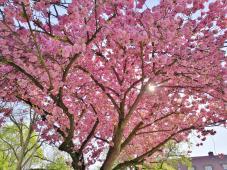 Kirschblüte am Stadtpark