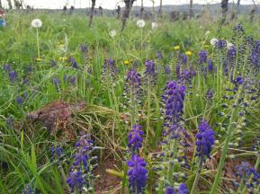 Wilde Blumen ziwchen den Weinstöcken