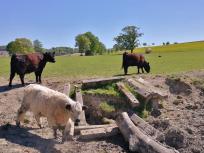 Robust-Rinder auf der Weide an Xaver's Ranch