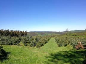 Oben im Wald wachsen schon die Tannenbäume für das nächste Weihnachtsfest heran